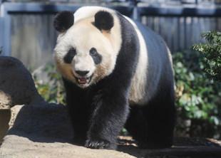 animal_pack_panda