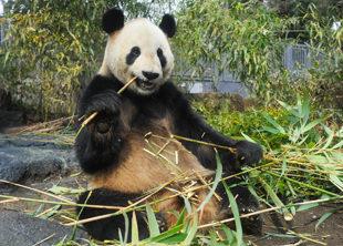 animal_pack_panda2