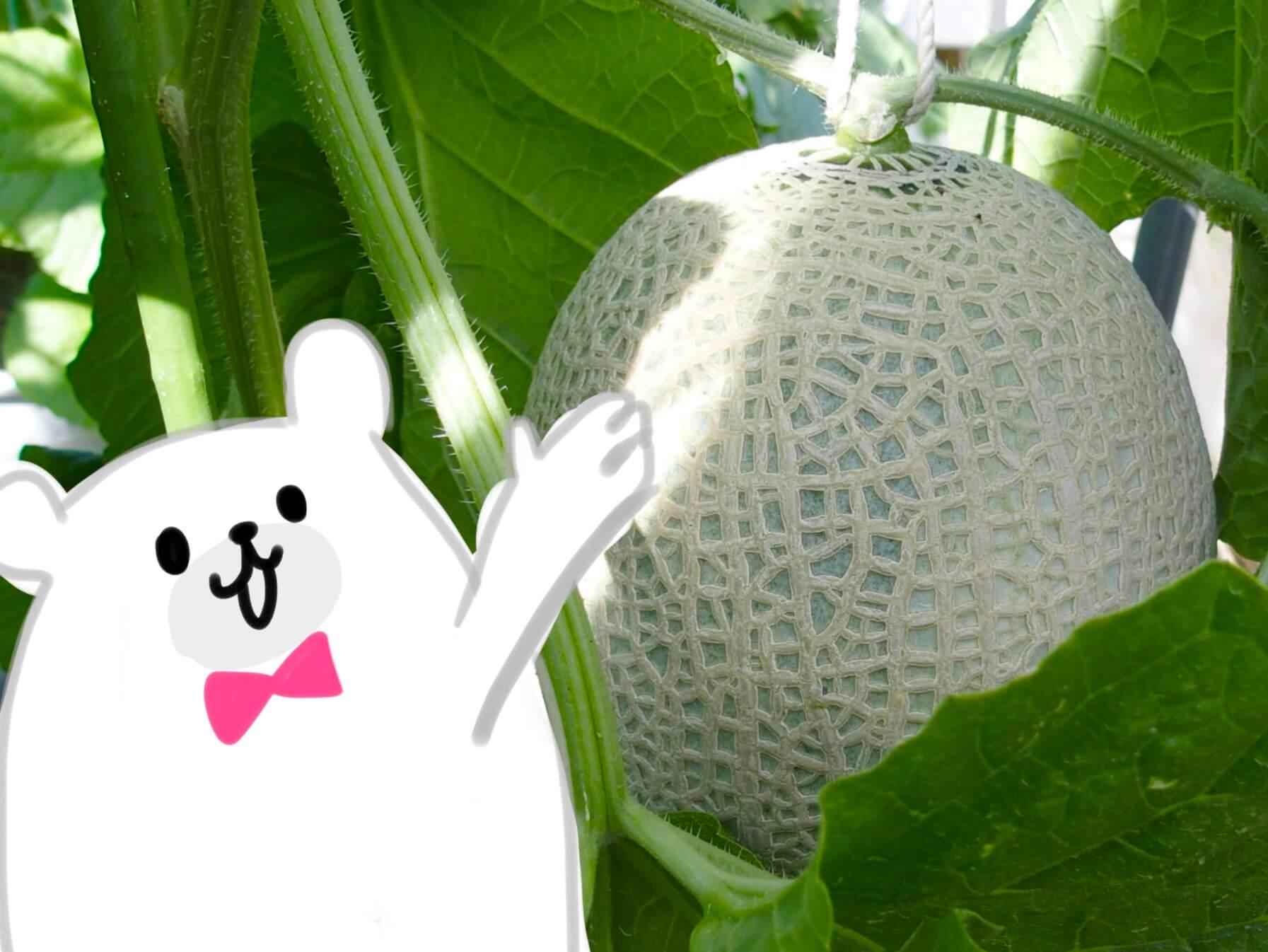 【千葉・富津】モリタ農園のVIPもメロメロなマスクメロンについて聞いてきた!&食べてみた!